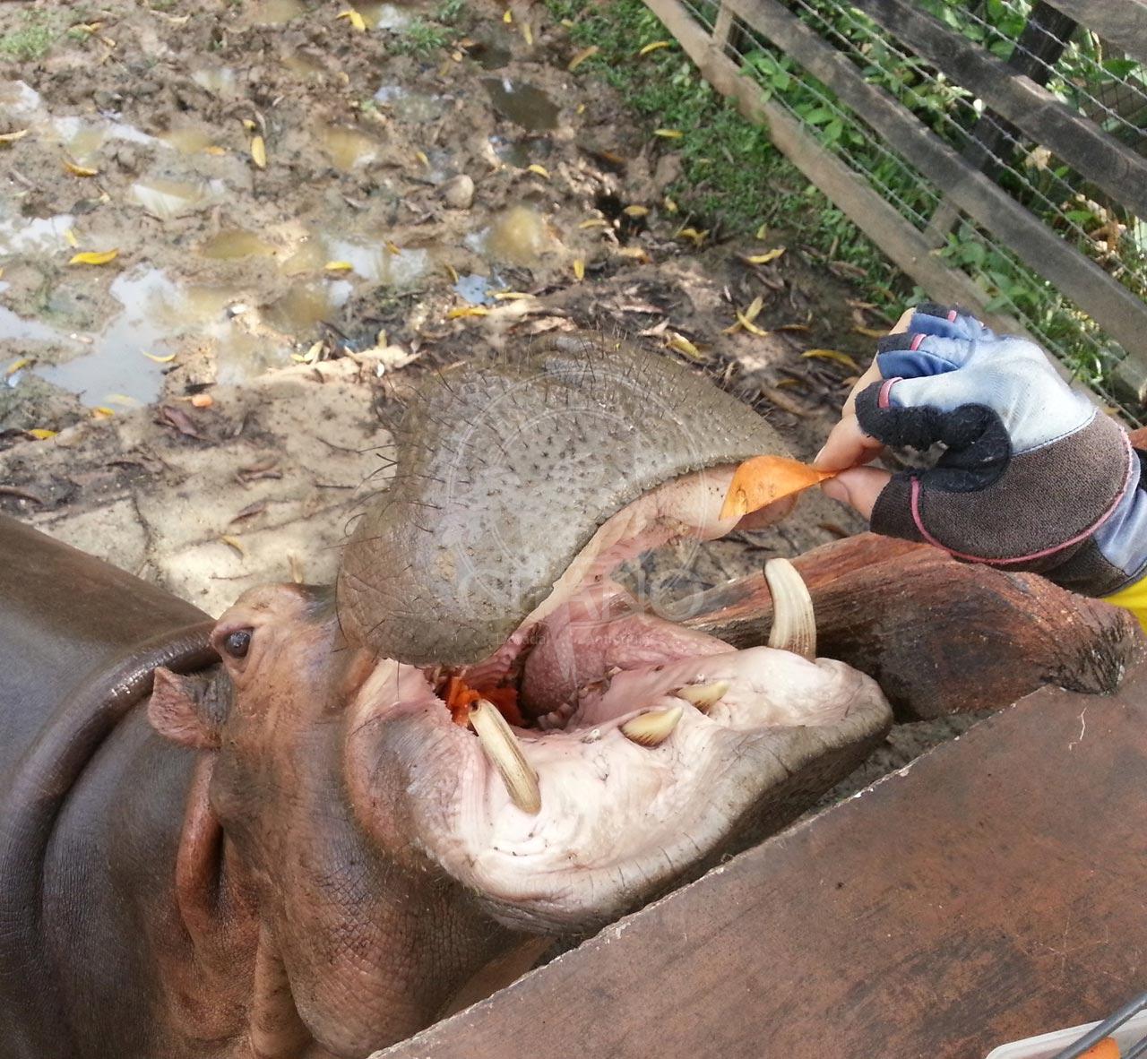 Por que esperar para alimentar un hipopotamo Parque Temático Hacienda Nápoles Hotel & Restaurante Parador del GItano