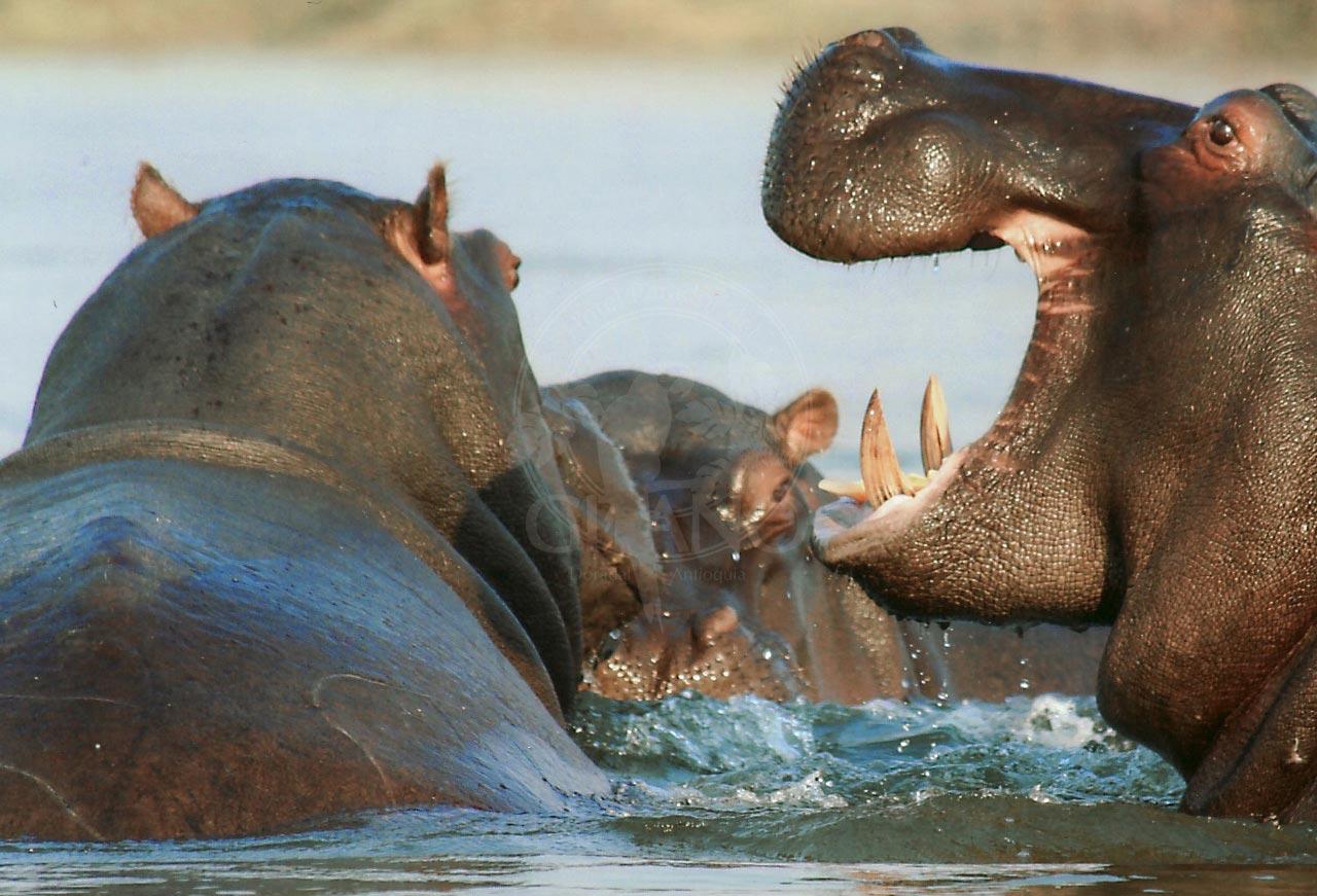 Conoce los famosos hipopótamos del Parque Temático Hacienda Nápoles - Hotel & Restaurante Parador del Gitano - Nápoles - Doradal - Rio claro
